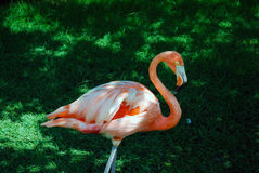 Bird. An orange bird on the lawn Stock Images