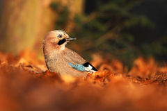 Bird in the orange leaves. Eurasian Jay, Garrulus glandarius, portrait of nice bird with orange fall down leaves and morning sun d Stock Image