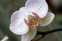 Bird in the Orchid. Macro of purple/white orchid stock photos