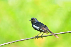 Bird (Oriental Magpie Robin) Royalty Free Stock Photos