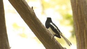 Bird ( Oriental magpie robin ) on branch flying away stock video