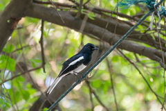 Bird (Oriental magpie robin) on a tree Royalty Free Stock Photography