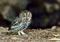 Bird (Oriental Scops Owl) , Thailand Stock Photography