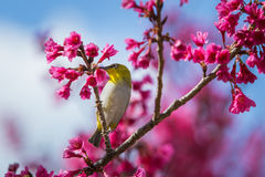 Bird,Oriental White-eye Royalty Free Stock Photography