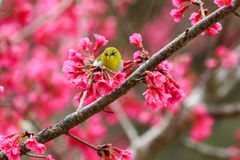 Bird,Oriental White-eye. Birds on a cherry tree,cherry tree -Doi Ang Khang, Chiang Mai, Thailand Royalty Free Stock Photos