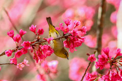 Bird,Oriental White-eye. Birds on a cherry tree,cherry tree -Doi Ang Khang, Chiang Mai, Thailand Royalty Free Stock Photography