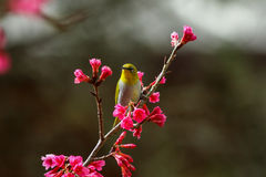 Bird,Oriental White-eye. Birds on a cherry tree,cherry tree -Doi Ang Khang, Chiang Mai, Thailand Royalty Free Stock Image