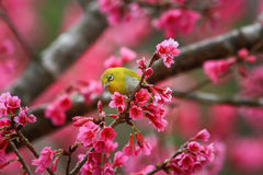 Bird,Oriental White-eye. Birds on a cherry tree,cherry tree -Doi Ang Khang, Chiang Mai, Thailand Stock Photo