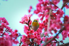 Bird,Oriental White-eye. Birds on a cherry tree,cherry tree -Doi Ang Khang, Chiang Mai, Thailand Royalty Free Stock Images