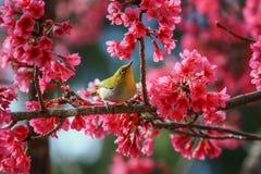 Bird,Oriental White-eye Royalty Free Stock Image