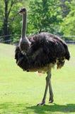 bird ostrich Στοκ Εικόνα