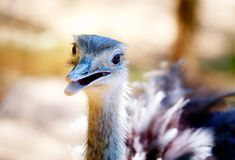 Bird ostrich and Blur background. Struthio camelus. Smiling bird. Stock Photos