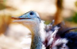 Bird ostrich and Blur background. Struthio camelus. Smiling bird. Royalty Free Stock Photo