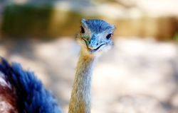 Bird ostrich and Blur background. Struthio camelus. Smiling bird. Stock Photography