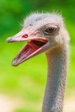 Bird Ostrich Stock Photo