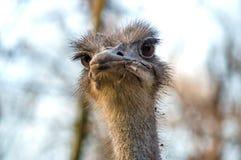 Bird ostrich Stock Photography
