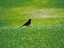 Bird out for walk Royalty Free Stock Photos