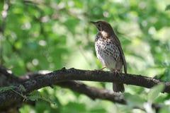 Bird ouzel on a branch Royalty Free Stock Photos