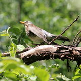 Bird Ouzel. Little bird on branch between green leaves in summer park Moscow Rassia Birds thrush blackbird Ouzel catbird stock photography