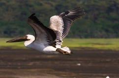 Bird over the lake. Nakuru Stock Images