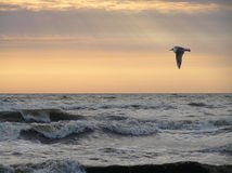 Bird over sea. Bird flying over Baltic sea on sunset background. Picture is taken in Lithuania near village Sventoji Royalty Free Stock Photos