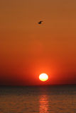 Bird over sunset Stock Images