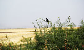 Bird Overlooking the Salt Marshes Stock Image