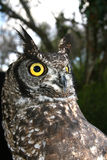 Bird Owl Royalty Free Stock Photography