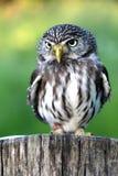 Bird, Owl, Beak, Fauna stock photo
