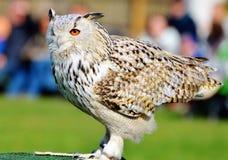 Bird, Owl, Beak, Fauna royalty free stock photography