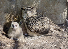 Bird owl. The Female with the chick. Stock Images