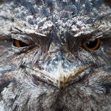Bird owl frogmouth Stock Photos