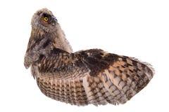 Bird owl isolated Stock Photography