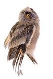 Bird owl isolated Royalty Free Stock Photography