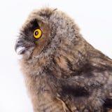 Bird owl isolated Royalty Free Stock Photos