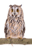 Bird owl isolated Stock Images