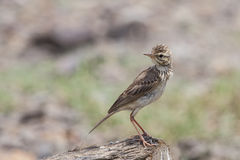 Bird: Paddyfield pipit Royalty Free Stock Photo