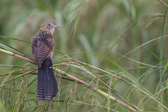 Bird in Padi-field. A lesser Coucal posing for a profile picture Royalty Free Stock Image