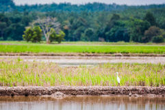 Bird at padi field Royalty Free Stock Image