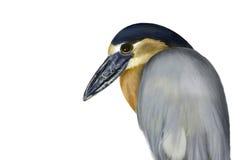Bird paintings. Bird on a white background Stock Photos