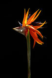 Bird of paradise 04 Stock Photo