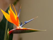 Bird of paradise. Closeup of exotic Caribbean flower Royalty Free Stock Photo