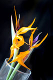 Bird of Paradise. Two bird of paradise in a glass vase on a black background stock images