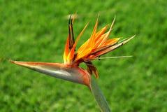 Bird of Paradise. This is a flower found in South Africa. Strelitzia reginae Aiton Strelitziaceae Royalty Free Stock Image