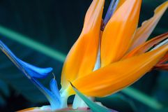 Bird of Paradise. Flower in orange and blue Stock Photos