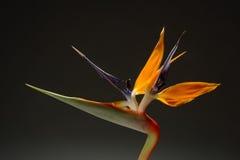 Bird of Paradise. Flower (Strelitzia reginae Stock Photos