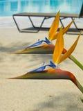 Bird of Paradise Royalty Free Stock Images