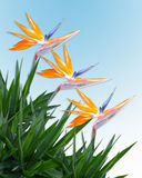 Bird of paradise. Image and illustration composition tropical flowers border with bird of paradise, palm fronds for Luau wedding invitation background Royalty Free Stock Image