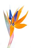 Bird of Paradise Stock Photography