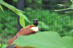 Bird of paradise Stock Images